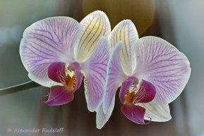 Foto-79b-(59)-Zwillingsblüte