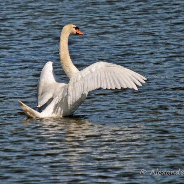 Foto-80b-(17)-kleineSchwan